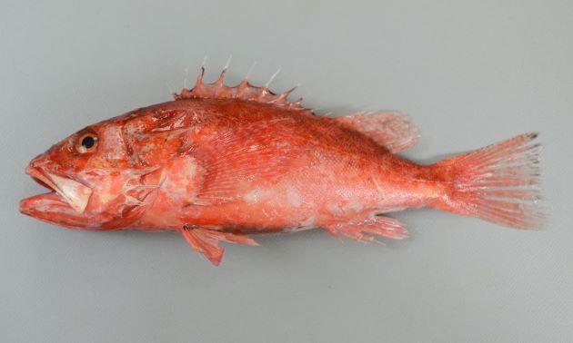 体長20cm前後になる。体は紡錘形に近く、全体に一様に赤いものと背の部分に黒いゴマ状の斑紋のあるものがある。前鰓蓋骨第2棘は小さいか、非常に小さい。