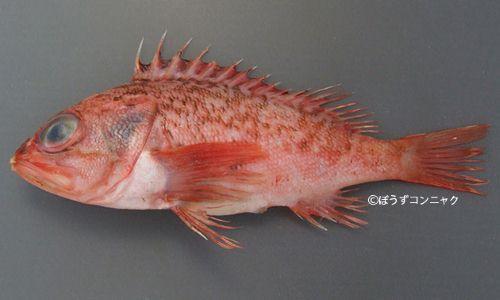 オキカサゴの生物写真