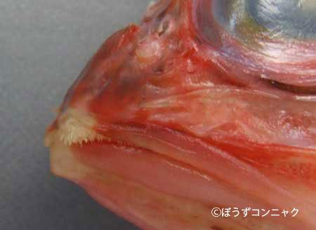 オキカサゴの歯