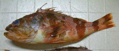 ミナミユメカサゴの生物写真