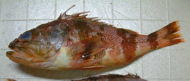 ミナミユメカサゴの形態写真