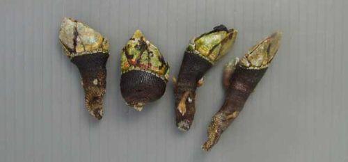 7cm前後になるが普通は3-4cm。鱗状の外壁をもった柄部と爪状のものが閉じた花びら状を形作る頭状部に分かれる。