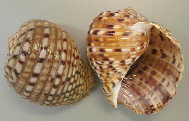 殻長10センチ前後になる。蓋(ふた)を持たない。球状で同じ幅の螺肋(横筋)があり、褐色の帯状の斑文がある。丸みを帯びて同じ幅で盛り上がりのある横しまがある。その横しまのところどころに黒い文様がある。