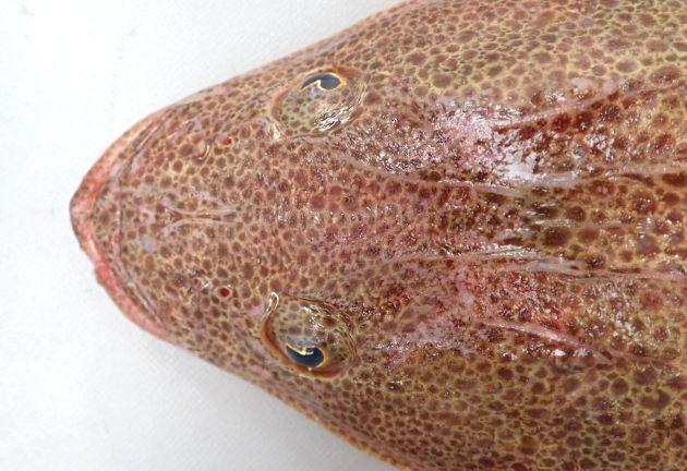 上から見ると鰓蓋から分にかけて直線的で正三角形に見える。