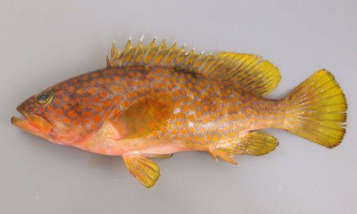 40cm前後になる。背鰭棘は11本、全身に斑紋(小豆色から明るい黄色まで様々)がある。背中に薄い暗色斑が1つある。尾鰭に網目状の斑紋がない。尾鰭の橋は丸い。[体長28cm]