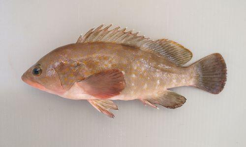 40cm前後になる。背鰭棘は11本、全身に斑紋(小豆色から明るい黄色まで様々)がある。背中に薄い暗色斑が1つある。尾鰭に網目状の斑紋がない。尾鰭の橋は丸い。[体長18cm]