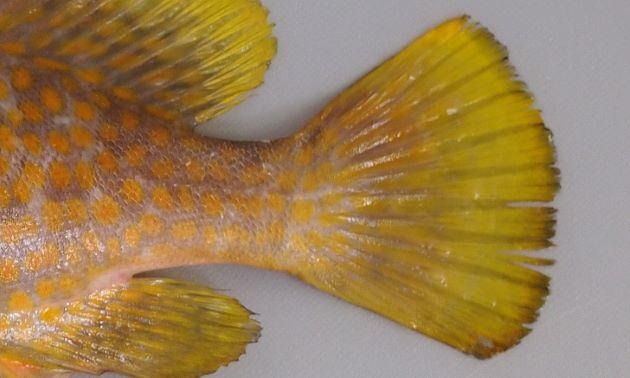 尾鰭に網目状の斑紋がない。