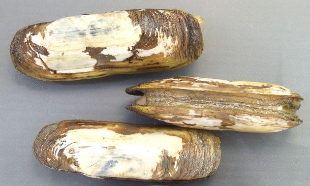 軟体は大きく貝殻が薄い。貝殻は薄く長さ10cm前後になる。黄色、茶褐色の殻皮をかむり、後方(蝶番を上にして向かって左)で縮れる。