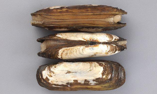 殻皮は生息場所により色が変わる。貝殻は薄く長さ10cm前後になる。黄色、茶褐色の殻皮をかむり、後方(蝶番を上にして向かって左)で縮れる。