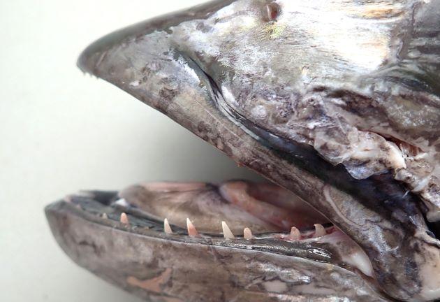 口はやや大きく鋭い歯がある。