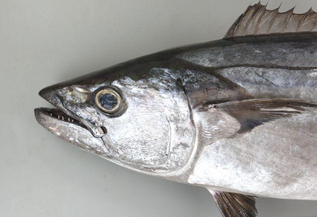 2m SL 前後になる。口はやや大きく鋭い歯がある。紡錘形で背鰭から吻までは直線的。側線は1本で、側線部分をのぞくと無鱗。第1背鰭と第2背鰭は接近し、第1背鰭は低く先端で急激に高くならない。腹鰭間突起は1尖頭。[鹿児島県]
