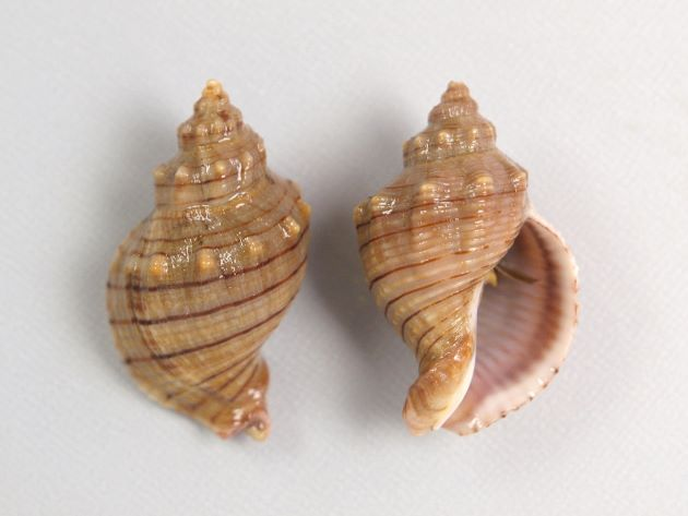 殻長45mm前後になる。貝殻は厚く、螺肋ははっきりしている。縞のあるもの、ないもの、螺肋の非常に強いものなど多彩。写真は螺肋が一定の太さで周縁部分に縞模様があり、肩以外に顆粒状のとっきがない。地域による変異が大きい。[高知県産]
