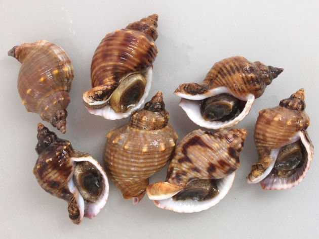 殻長45mm前後になる。貝殻は厚く、螺肋ははっきりしている。縞のあるもの、ないもの、螺肋の非常に強いものなど多彩。写真は螺肋が一定の太さで貝殻に不規則な褐色の模様があり、肩以外に顆粒状のとっきがない。地域による変異が大きい。[静岡県焼津市]