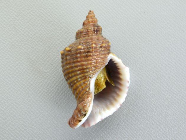 殻長45mm前後になる。貝殻は厚く、螺肋ははっきりしている。縞のあるもの、ないもの、螺肋の非常に強いものなど多彩。写真は螺肋が細く、肩以外にも螺肋に細かい顆粒状の突起がある。周縁部分に縞模様がない。地域による変異が大きい。[鹿児島県太平洋岸]