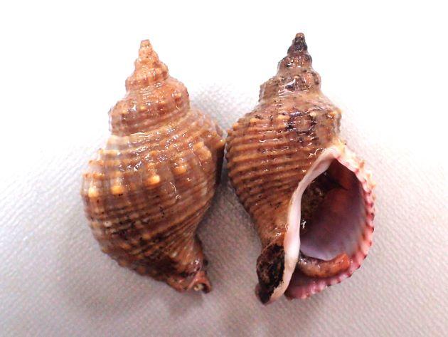 殻長45mm前後になる。貝殻は厚く、螺肋ははっきりしている。縞のあるもの、ないもの、螺肋の非常に強いものなど多彩。写真は螺肋が細く太い細いがある。肩以外にも螺肋に細かい顆粒状の突起がある。周縁部分に縞模様がない。地域による変異が大きい。[宮崎県日向市]