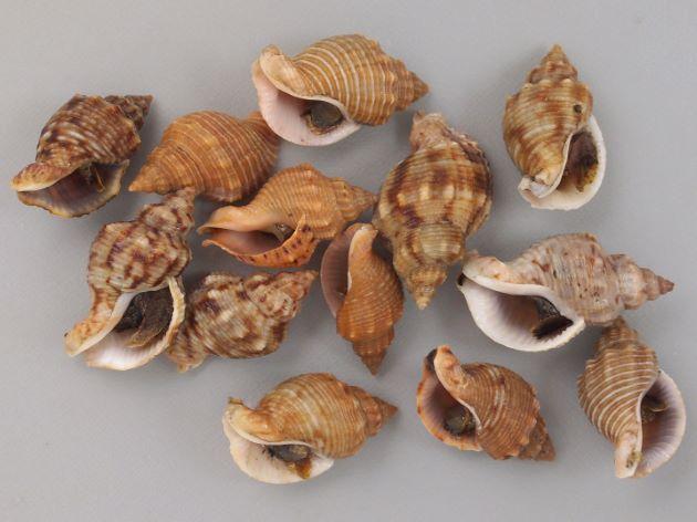 殻長45mm前後になる。貝殻は厚く、螺肋ははっきりしている。縞のあるもの、ないもの、螺肋の非常に強いものなど多彩。写真は螺肋がややほそく、縦肋が目立ち、ときに周縁を白い縞模様がある。一定の太さで貝殻に不規則な褐色の模様があり、肩にはっきりした突起があり、それぞれの螺肋にも細かい顆粒がある。[鹿児島県東市来町]