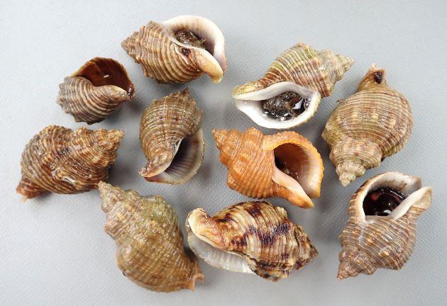 殻長45mm前後になる。貝殻は厚く、螺肋ははっきりしている。縞のあるもの、ないもの、螺肋の非常に強いものなど多彩。写真は螺肋がややほそく、縦肋が目立ち、ときに周縁を白い縞模様がある。一定の太さで貝殻に不規則な褐色の模様があり、肩にはっきりした突起があり、それぞれの螺肋にも細かい顆粒がある。[長崎県雲仙市小浜]