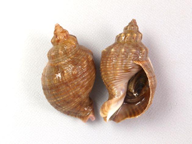 殻長45mm前後になる。貝殻は厚く、螺肋ははっきりしている。縞のあるもの、ないもの、螺肋の非常に強いものなど多彩。写真は典型的なもので、螺肋が一定の太さで周縁部分に縞模様、肩以外に顆粒状のとっきがない。地域による変異が大きい。[高知県産]