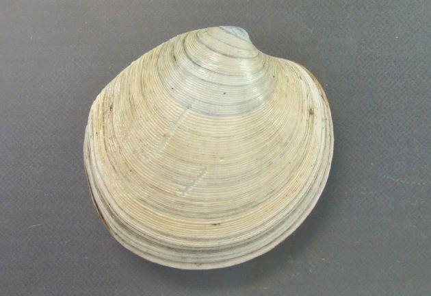 殻長、殻幅ともに8センチ前後で貝殻は白い。円形に近く、膨らみは少ない。規則的な低い輪肋がある。