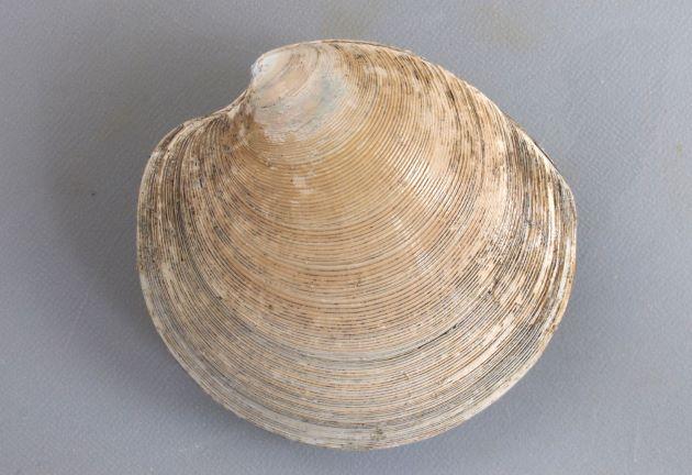 カガミガイの形態写真