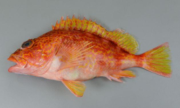 体長25cm前後になる。形はカサゴに似ているが、鮮やかな赤色で黄色い網目状の模様がある。