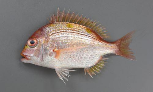 35cm SL 前後になる。楕円形で体高が高く、側扁(左右に平たい)。体色は黄色みの強い赤。黄色く太い横縞が3つ淡く並ぶ。大きくなると頭部が張り出してくる。[15.5cm SL]