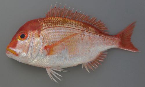 35cm SL 前後になる。楕円形で体高が高く、側扁(左右に平たい)。体色は黄色みの強い赤。黄色く太い横縞が3つ淡く並ぶ。大きくなると頭部が張り出してくる。