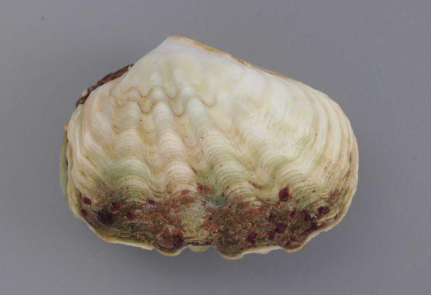 ヒメシャコガイの形態写真