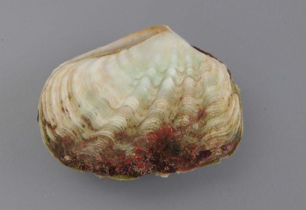殻長17cm前後(画像では左右)。貝殻はうねり、細かな放射肋がある。