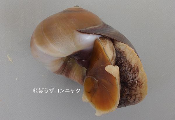 殻長5センチを超える。つやのある丸い貝殻で、カタツムリを思わせる。軟体が非常に柔らかく、行動しているときには貝殻よりも遙かに大きく広がる。