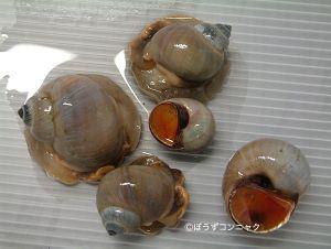 サキグロタマツメタのサムネイル写真