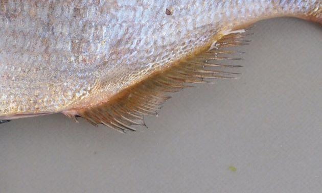 臀鰭基底に黒線が存在しない。