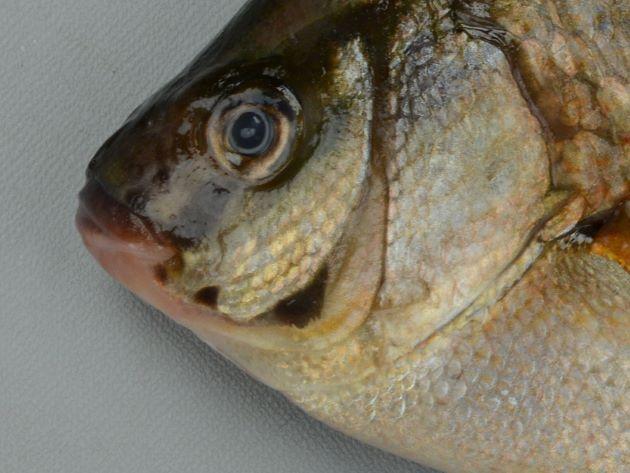 前鰓蓋骨の前下方、後方隅に黒い斑紋がある(マタナゴは前鰓蓋骨後方隅に暗色の三日月型斑がある。ときどき前下方にも暗色斑のあることがある)。