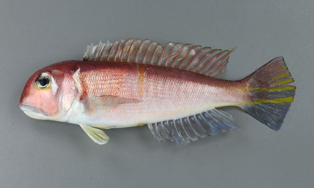 50cm SL 前後になる。背部が赤く、全体的にも赤みがかる。側へんして細長い。背鰭前、頭部の正中線は黒い。眼後下縁に銀白色の三角形の斑紋がある。[20cm SL・重100g]