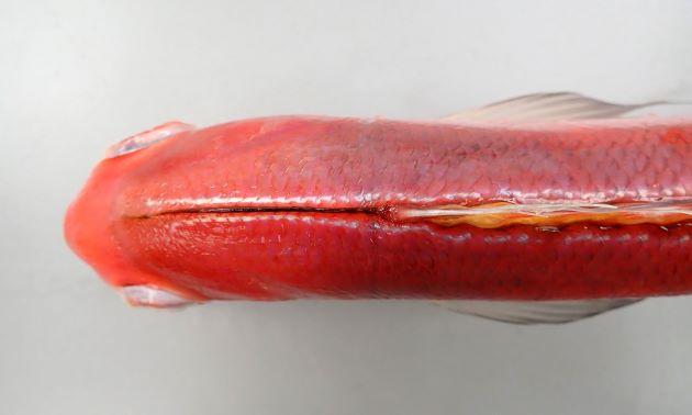 背鰭前、頭部の正中線は黒い。