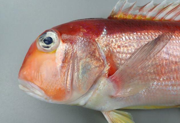 眼後下縁に銀白色の三角形の斑紋がある。