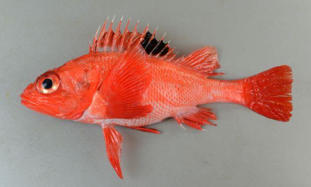 SL 30cm前後になる。鰭も含めて全体に赤く背鰭後部に黒い斑紋がある。胸鰭の中程に欠刻がある。頬部に縦に並ぶ棘がある。