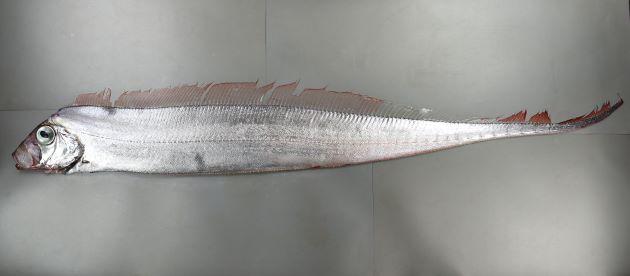 最大2.7m SL 前後になる。口はいちばん前方にある。体側に斑紋はない。体は側へんして細長く頭部背面から吻にかけて直線的。尻鰭はなく腹鰭は非常に小さい。背鰭は1つで長く繋がっている。成魚の尾鰭は上方を向く。[神奈川県小田原市江之浦沖/158cm SL ・重さ3.1kg]
