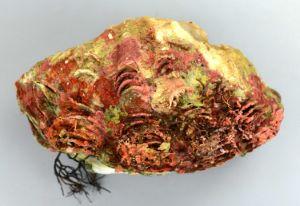 シラナミガイのサムネイル写真