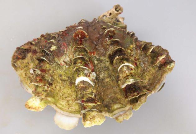 ヒレシャコガイの形態写真