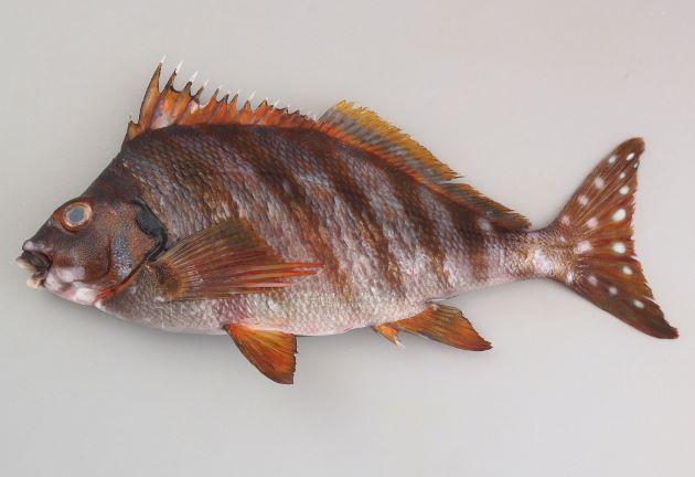 タカノハダイの形態写真