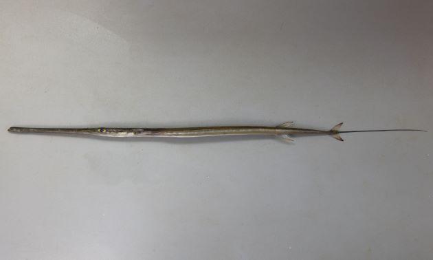 体長1.5メートル前後になる。棒状で非常に細長く、青味を帯びている。
