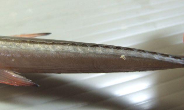 尾柄部の側線鱗は低い台形状で、触っても引っかからない。