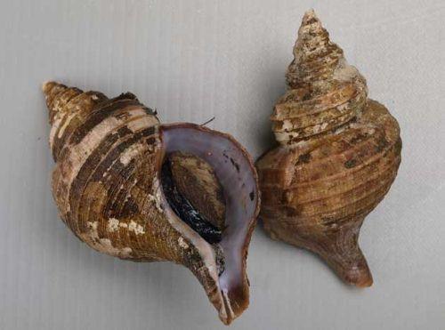 コエゾボラモドキの生物写真