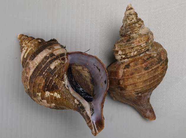 コエゾボラモドキの形態写真