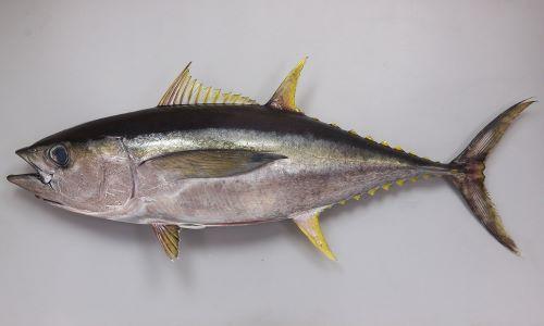 体長2m、200kgに達する。紡錘形でやや細長くやや黄色みがかる。頭はやや小さく、腰から尾にかけてが長い。背鰭と尻鰭は黄色く成長にともない著しく伸びる。