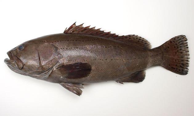 1.5m SL 前後になる超大型種。小型のものには黒褐色、やや薄い部分、黒褐色の縦に走る帯があり。黒い條(すじ)が明瞭に走る。大きくなるに従い帯は消え、筋は破線上(リーダー罫、……)になる。もっと大きくなると模様筋は消える。