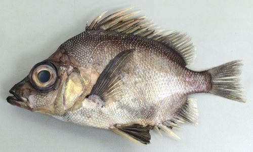 ツボダイの生物写真