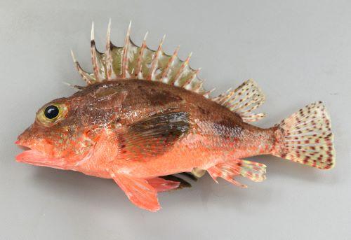 ヒレナガカサゴの生物写真