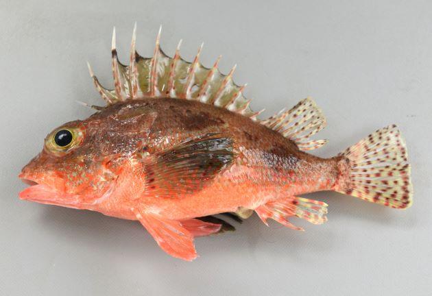 ヒレナガカサゴの形態写真